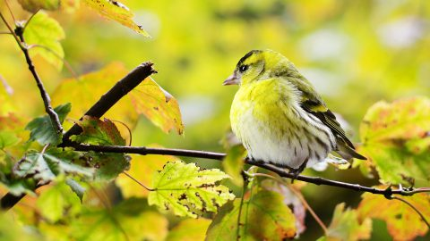 Vögel können leiser zwitschern