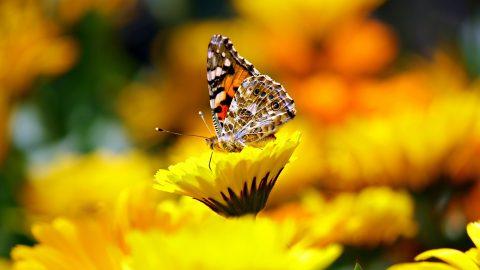 Sensationelles Ergebnis bei Schmetterlingszählung
