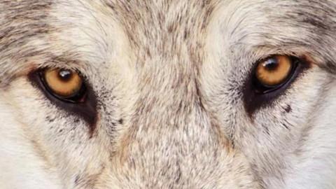 #shewolves: Wölfinnen im Rampenlicht