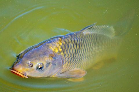 Fastenzeit: Heimischer Fisch schont das Klima