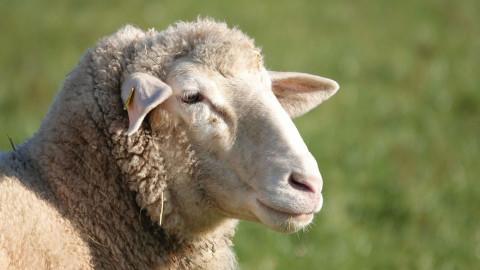 Wien Energie nutzt tierische Rasenmäher für größte Photovoltaikanlage Österreichs